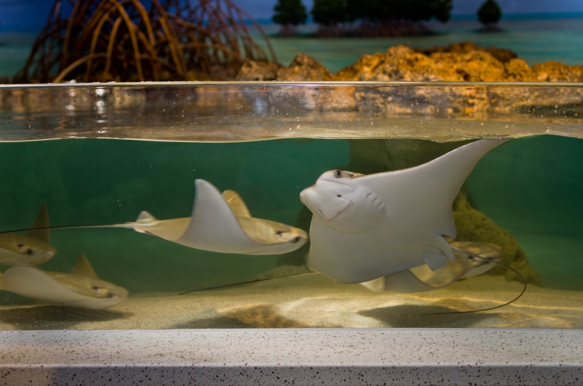 new_england_aquarium_2011_cownose_rays