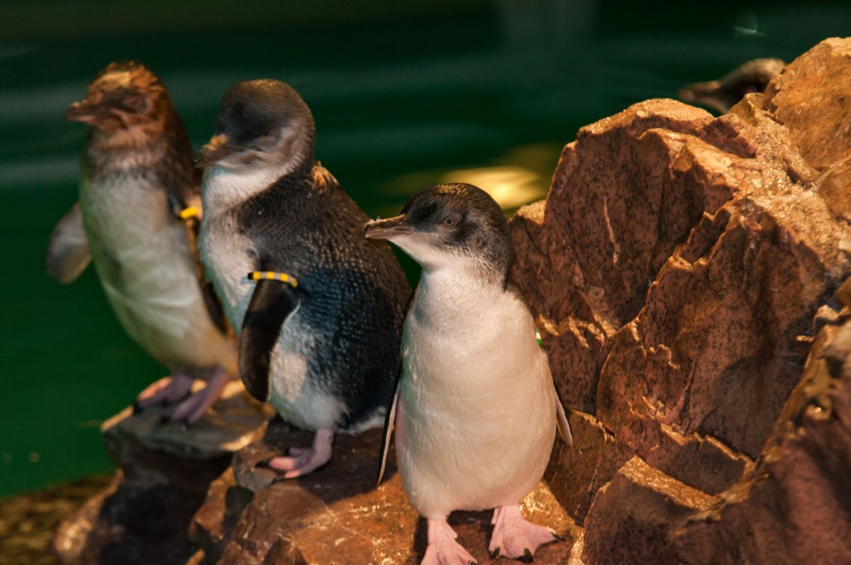 new_england_aquarium_little_blue_penguins